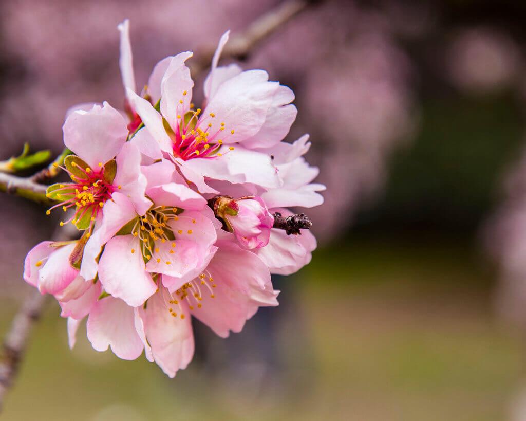flor de almendro rosa , de uso comestible