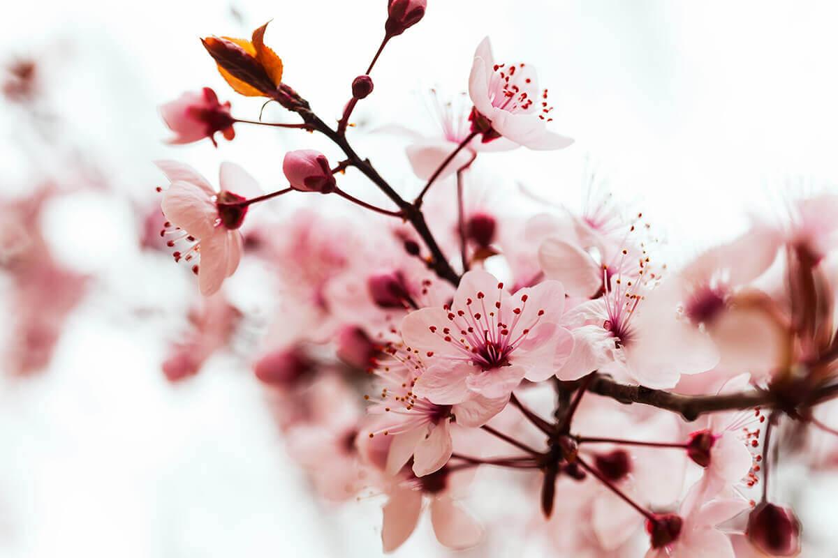 flores de arbol de almendra