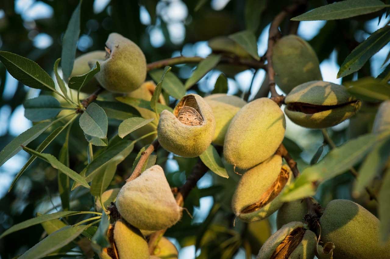 fruto de almendro maduro